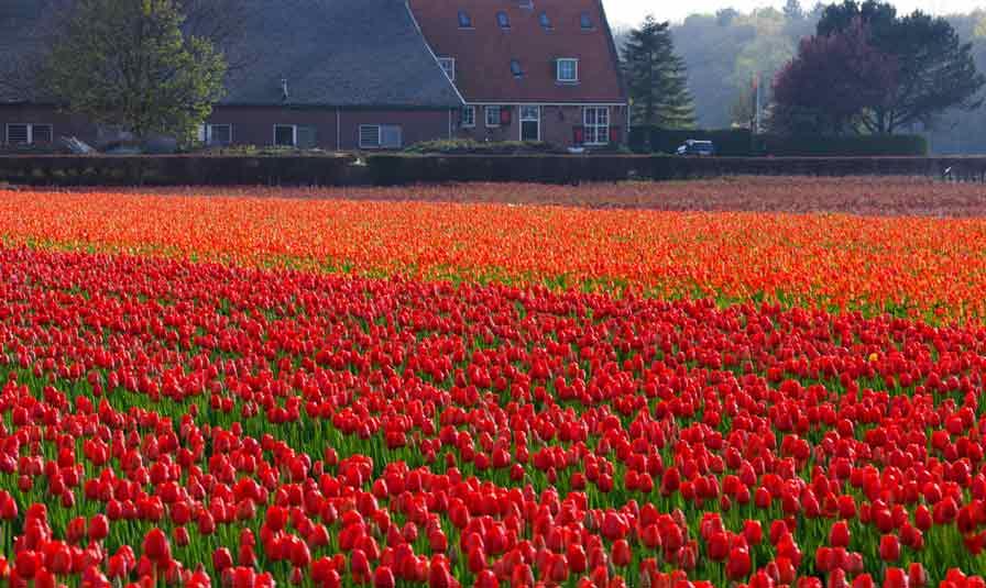 campos tulipanes